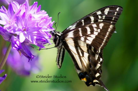 Steider Studios:  Swallowtail on Wild Lily