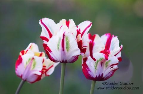 Steider Studios:  Trio of Parrot Tulips