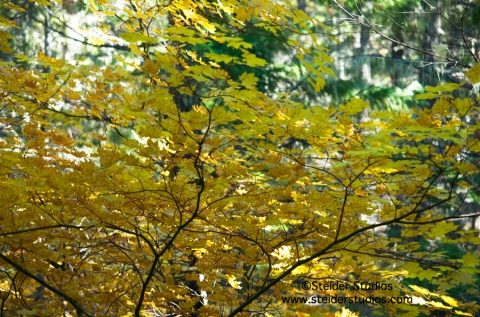 Steider Studios:  Fall Color on Mt. Adams.  10.18.13