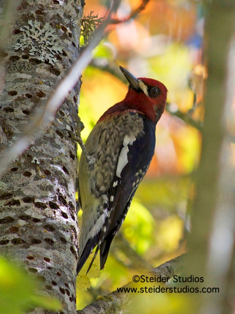 Steider Studios:  Red Breasted Sapsucker