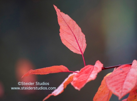 Steider Studios:  Red Leaves