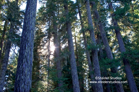 Steider Studios:  Towering Trees in Sunlight on Mt. Adams