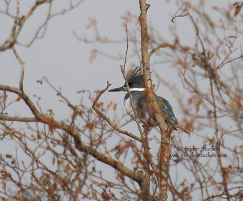 Steider Studios: Bonus Bird.Kingfisher