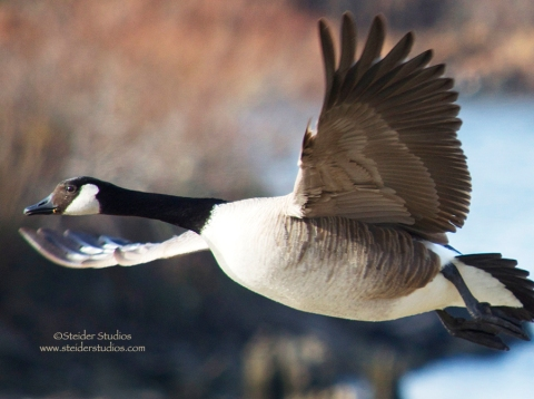 Steider Studios:  Goose in Flight