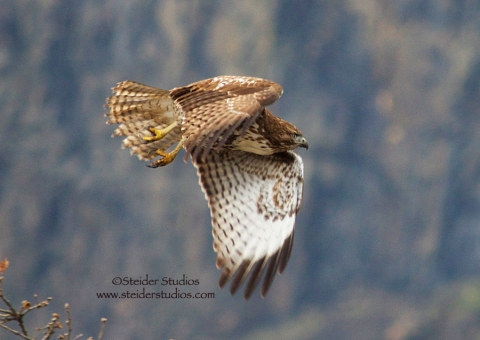 Steider Studios:  Hawk in Flight. 12.31.13