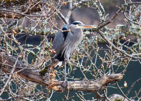 Steider Studios:  Heron in Tree.12.31.13