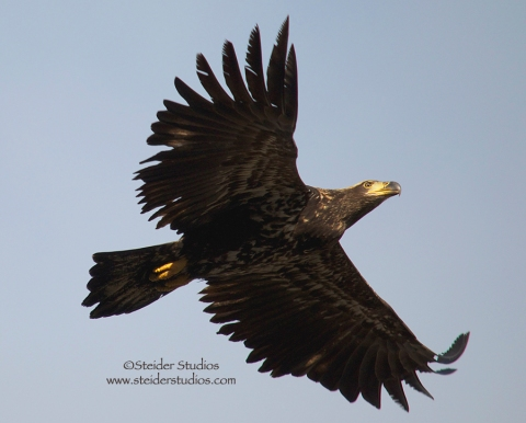 Steider Studios:  Juvenile Eagle in Flight. 12.29.13