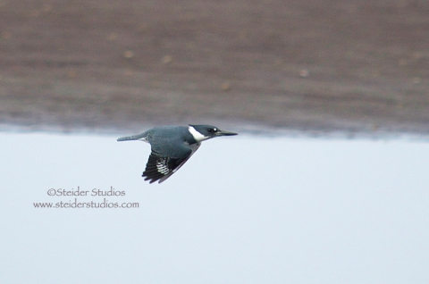 Steider Studios:  Kingfisher in Flight. 1.2.14
