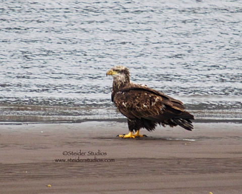 Steider Studos:  Juvenile Bald Eagle on Beach 12.30.13