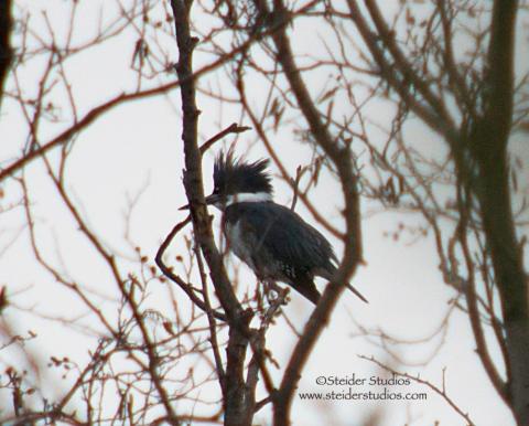 Steider Studos:  Kingfisher.1.1.14