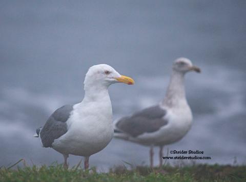 Steider Studios:  Pair of Seagulls