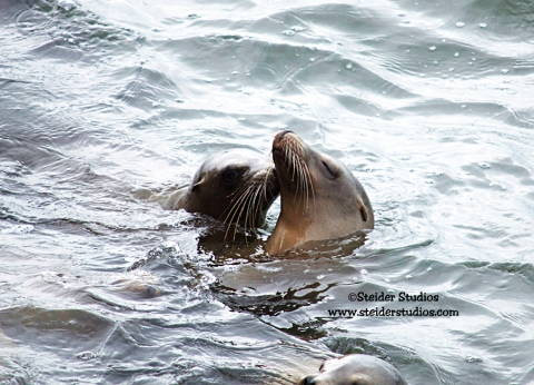 Steider Studios:  Sea Lion Kisses