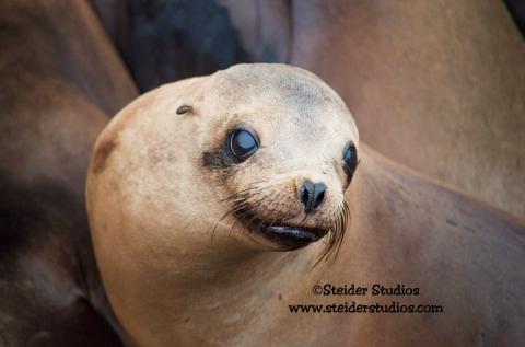 Steider Studios:  Baby Sea Lion
