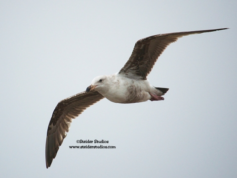 Steider Studios:  Seagull in Flight