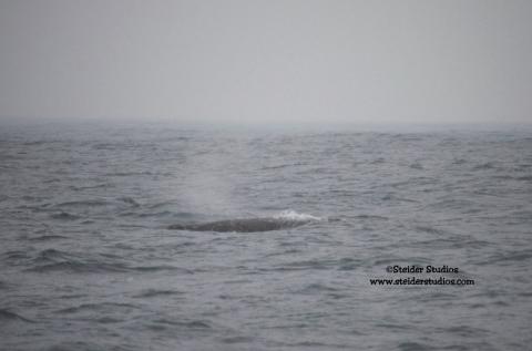 Steider Studios:  Gray Whale
