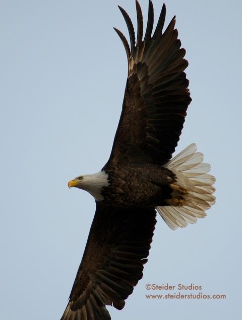 Steider Studios:  Bald Eagle in Flight.1.6.14