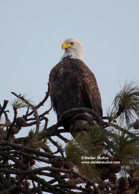 Steider Studios:  Bald Eagle in Tree.1.6.14