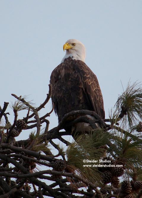 Steider Studios:  Bald Eagle in Tree.1.6.14