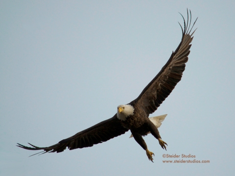 Steider Studios:  Bald Eagle Take Off into Flight, 1.6.14