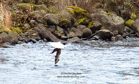 Steider Studios:  Eagle Catches Fish.1.13.14