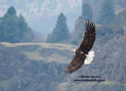 Steider Studios:  Eagle in Flight along Hwy14, January 2014.