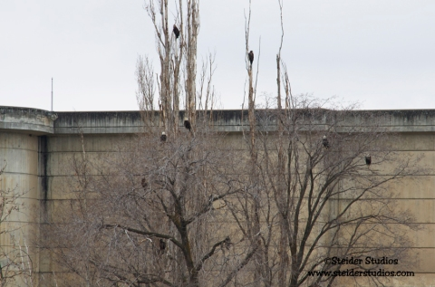 Steider Studios:  Eagles at The Dalles Dam on 1.27.14