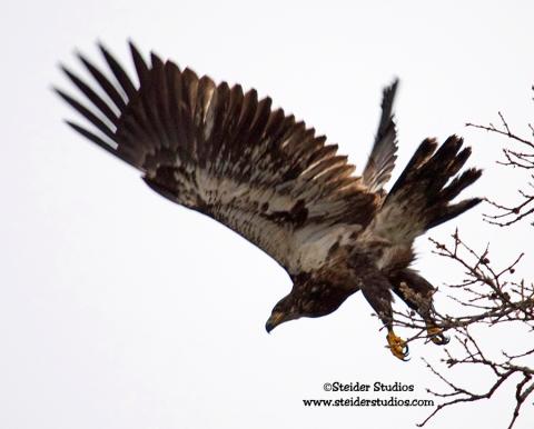 Steider Studios:  Juvenile Eagle Taking Off