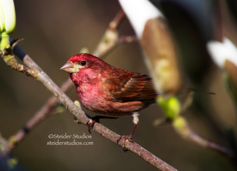 Steider Studios:  Purple Finch