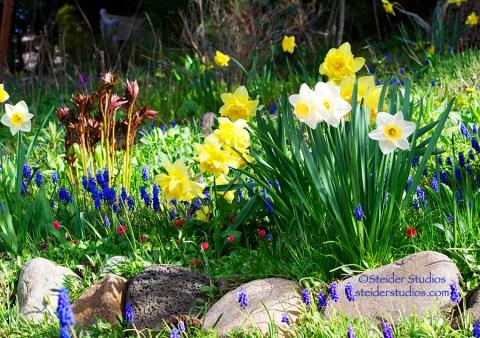 Steider Studios: Spring Daffodil Garden