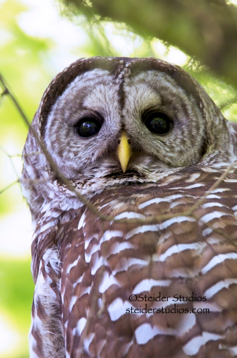 Steider Studios:  Barred Owl at Tualatin Nature Park