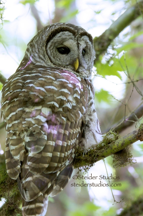 Steider Studios:  Barred Owl Back