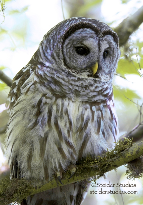 Steider Studios:  Barred Owl Fluffed Up