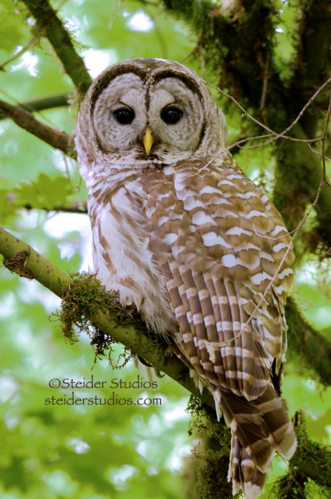 Steider Studios:  Barred Owl in Tree