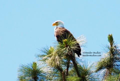 Steider Studios:  Eagle in Treetop