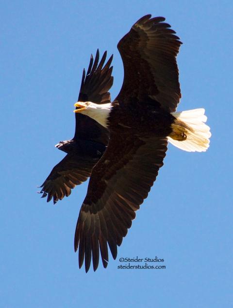 Steider Studios:  Eagle vs Raven at Rowland Lake
