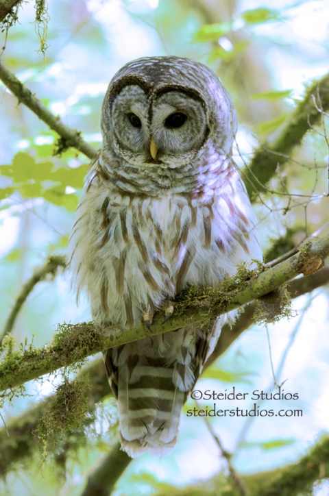 Steider Studios: Fluffy Barred Owl