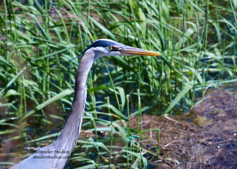 Steider Studios:  Heron at Rowland Lake 5.20.14