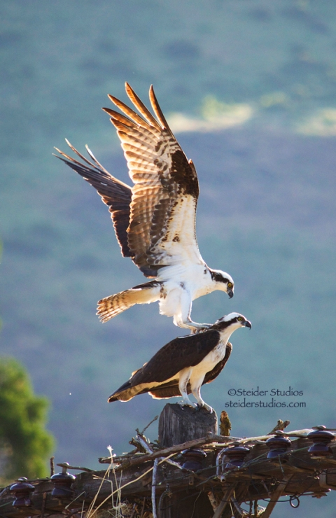 Steider Studios:  Osprey mating.2