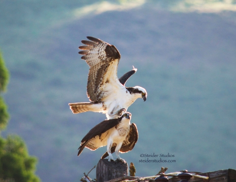 Steider Studios:  Osprey mating.3