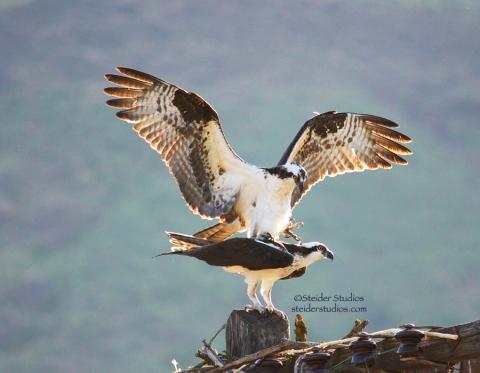 Steider Studios:  Osprey mating.4