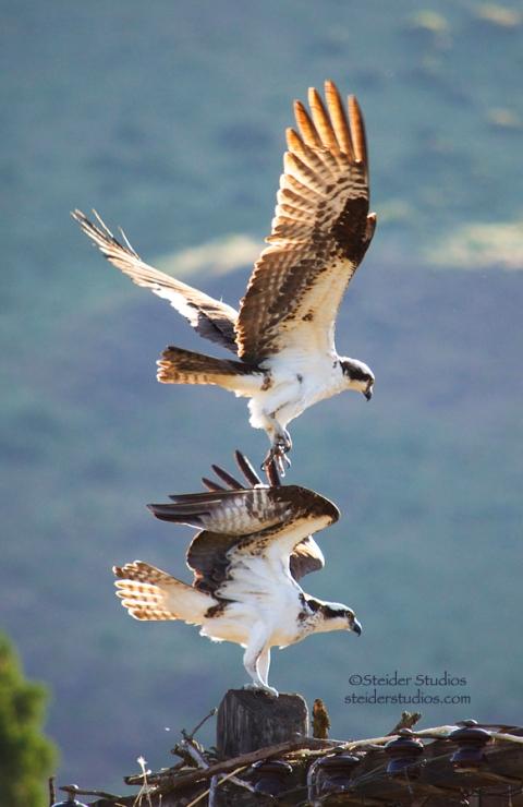 Steider Studios:  Osprey mating5