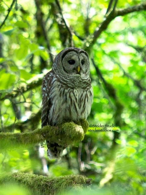 Steider Studios:  Barred Owl