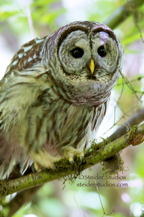 Steider Studios:  Owl Ready to Pounce
