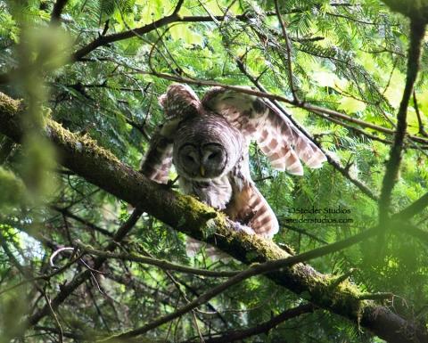 Steider Studios:  Owl Taking Off