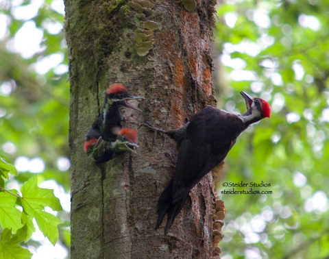 Steider Studios:  Pileated Woodpecker Three Babies