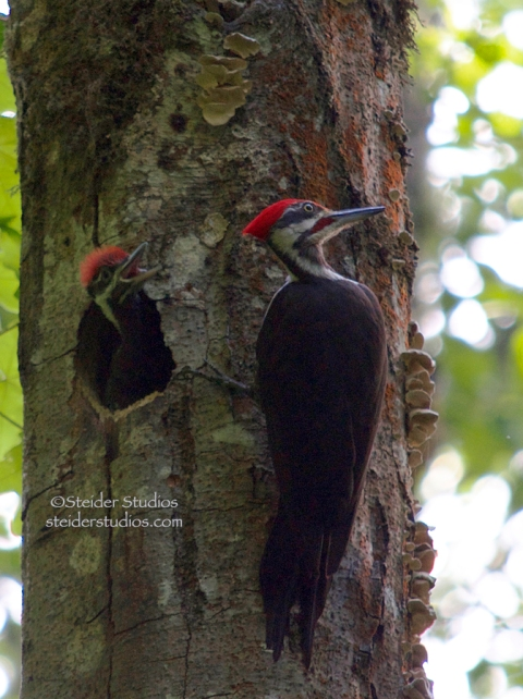 Steider Studios:  Pileated Woodpecker with Baby