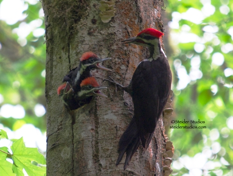 Steider Studios:  Pileated Woodpecker Family