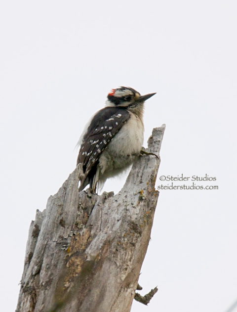 Steider Studios.Hairy Woodpecker.6.21.14
