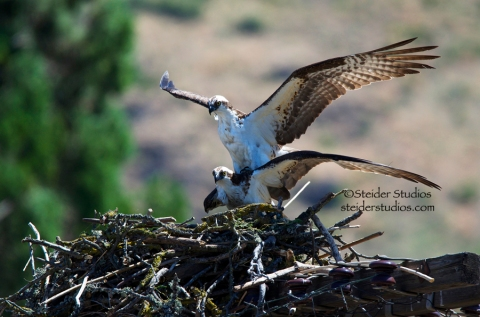 Steider Studios:  Osprey At it Again