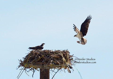 Steider Studios:  Osprey Bringing Fish to Family